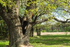 Quercia antica in primavera Fotografia Stock