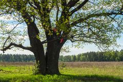 Quercia antica in primavera Fotografie Stock