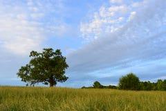 Quercia antica in un campo di erba con le nuvole dinamiche Fotografia Stock Libera da Diritti