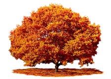 Quercia in autunno di caduta Fotografia Stock Libera da Diritti