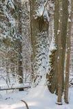 Quercia avvolta neve in sole Fotografie Stock Libere da Diritti