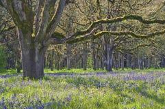 Quercia con i wildflowers blu di camas in priorità alta Fotografia Stock Libera da Diritti