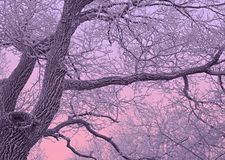 Quercia coperta di neve nella penombra porpora Immagine Stock