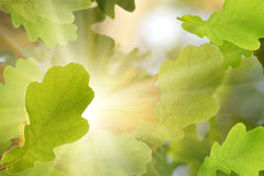 Quercia dell'albero dei fogli di autunno Fotografia Stock