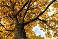 Quercia dell'albero dei rami con il mucchio delle foglie sulla natura immagine stock