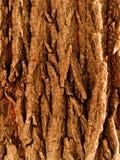 Quercia dell'albero di corteccia Immagini Stock