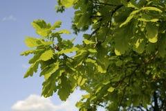 quercia della filiale Fotografia Stock