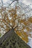 Quercia di autunno fotografie stock libere da diritti