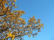 Quercia di autunno colore giallo dell'albero dei fogli delle filiali immagine stock libera da diritti