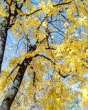 Quercia di autunno con le foglie gialle fotografia stock
