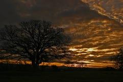 Quercia di California al tramonto Immagini Stock