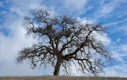 Quercia di California in cieli esili in California del Nord Immagini Stock