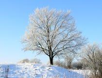 Quercia di inverno Immagini Stock