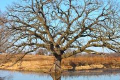 Quercia di ufficio (macrocarpa del quercus) Fotografia Stock Libera da Diritti