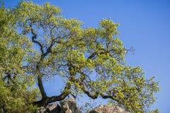 Quercia di valle che coltiva le nuove foglie in primavera, di un fondo del cielo blu, parco di stato di Henry Coe, California fotografia stock libera da diritti