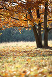 Quercia dorata nel parco Fotografia Stock Libera da Diritti