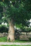 Quercia e banco di legno su un cimitero irlandese Immagine Stock