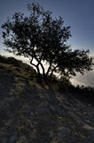 Quercia illuminata Fotografie Stock Libere da Diritti
