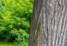 Quercia nel parco Fotografia Stock Libera da Diritti