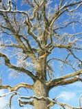 Quercia nell'orario invernale Fotografia Stock Libera da Diritti
