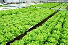 Quercia rossa, quercia verde, verdura di verde di coltura idroponica di coltivazione Fotografia Stock Libera da Diritti