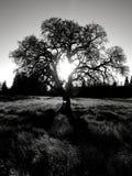 Quercia scura fotografia stock libera da diritti