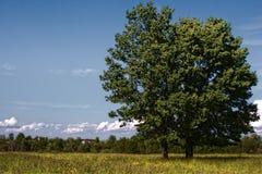 Quercia sul campo rurale fotografie stock libere da diritti