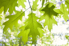 Quercia verde Fotografia Stock
