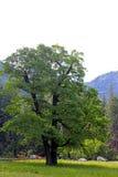 Quercia verde della valle di Yosemite, parco nazionale di Yosemite Fotografia Stock Libera da Diritti