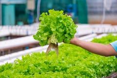 Quercia verde e quercia rossa, iceberg di frillice, verdura verde idroponica di coltivazione Fotografie Stock Libere da Diritti