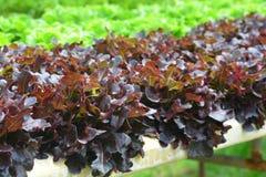 Quercia verde e quercia rossa Immagine Stock