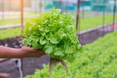 Quercia verde e rossa, iceberg di frillice, verdura verde idroponica di coltivazione Fotografie Stock