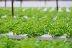 Quercia verde e rossa, iceberg di frillice, verdura verde idroponica di coltivazione Immagine Stock Libera da Diritti