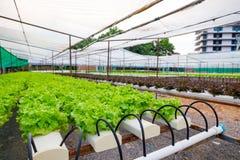 Quercia verde e rossa, iceberg di frillice, verdura verde idroponica di coltivazione Fotografia Stock Libera da Diritti