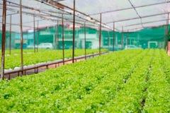 Quercia verde e rossa, iceberg di frillice, verdura verde idroponica di coltivazione Fotografia Stock