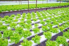 Quercia verde, iceberg di frillice, verdura verde idroponica di coltivazione Fotografia Stock