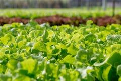 Quercia verde nell'azienda agricola di coltura idroponica Immagini Stock Libere da Diritti