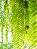 quercifolia папоротника или Drynaria Дуб-лист Стоковая Фотография RF