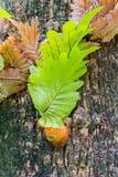 Quercifolia di Drynaria immagini stock