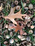 Quercus βελανίδια και φύλλα δέντρων Palustres στο έδαφος μετά από το ηλιοβασίλεμα το φθινόπωρο Στοκ Εικόνες