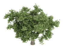 quercus дуба Стоковая Фотография