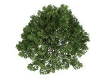 quercus дуба Стоковые Фото