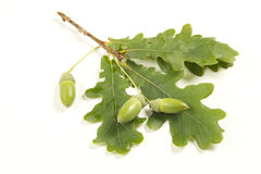 Quercus Stock Photos