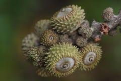 Quercus Стоковая Фотография RF