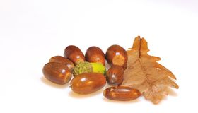 Quercus acorns. Royalty Free Stock Photo