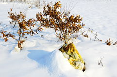 Quercus acutissima small tree in the snow. Winter, a small Sawtooth oak tree in the snow Ma cold bleak winter Stock Photos