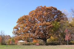 Quercus alba aka White Oak Tree and clear blue sky. Very big old white oak tree on the edge of the forest against a clear blue sky in autumn Royalty Free Stock Photo