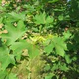 Quercus blommor av eken Arkivbild