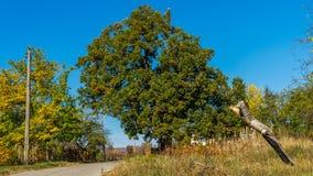 Quercus cerris fotografia stock