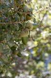 Quercus coccifera, Kermeseiche mit Blättern und Eicheln stockbilder